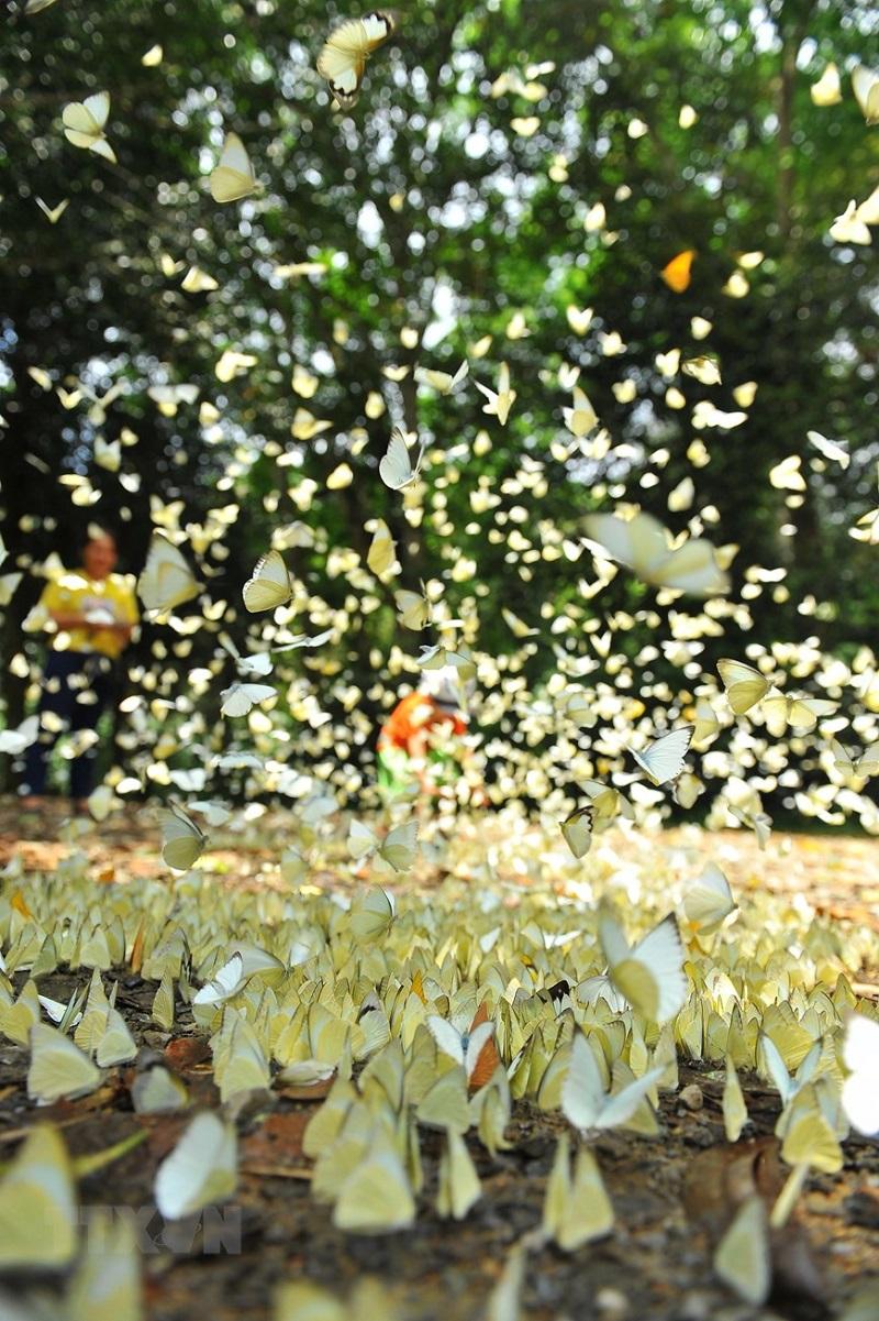 bướm rừng cúc phương