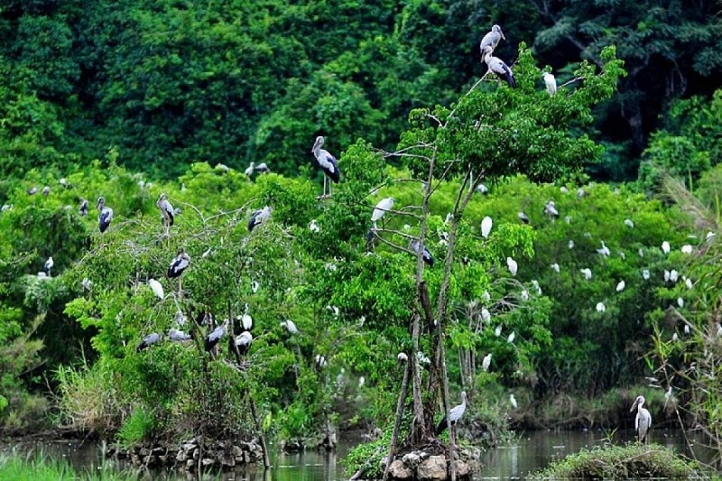 chim rừng cúc phương
