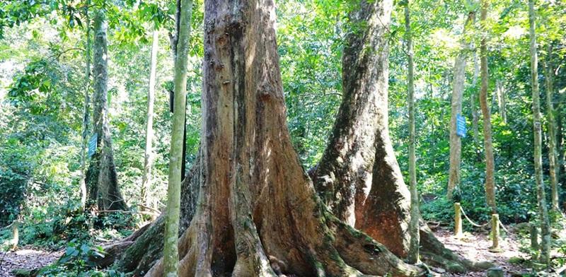cây cổ thụ cúc phương